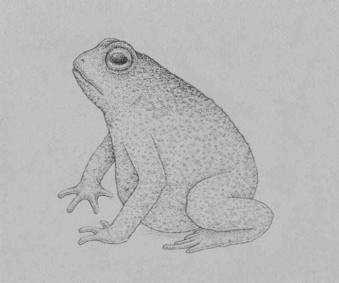 how to draw a frog step by step 21 - Como Desenhar Um Sapo